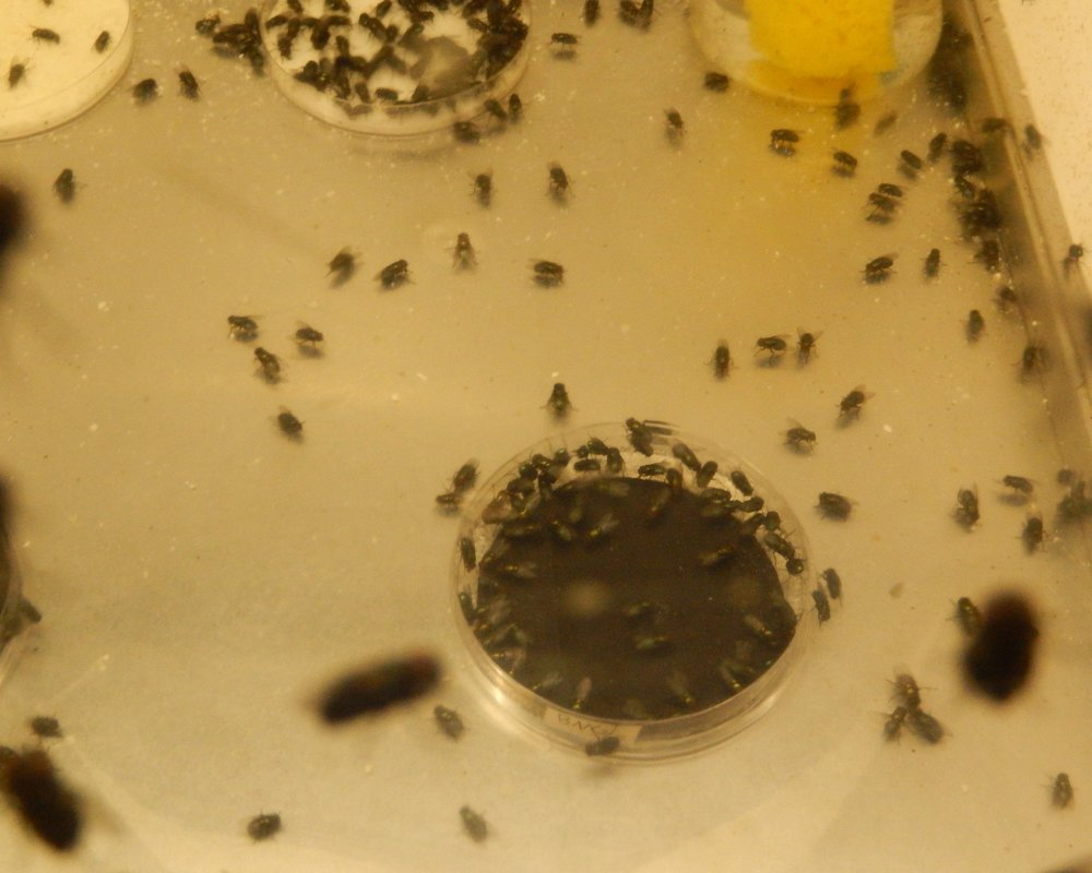 Blow flies swarming a sample in fly behavior studies.JPG