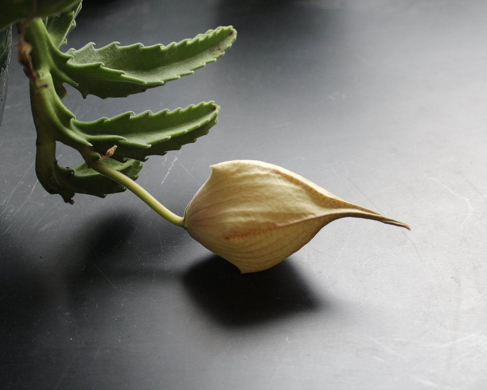 S. gigantea flower bud_IMG_2461.JPG