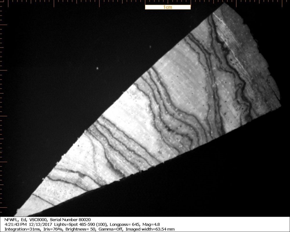 Microscope image of a piece of an endangered wood species. The sample was analyzed using LADI-MS, where the entire sample of wood could be analyzed whole