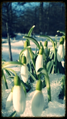 Snowdrops - Courtesy of www.topwalls.net