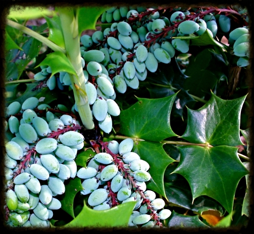 Oregon grape holly (Mahonia aquifolium) - Courtesy of www.goingtoseedinzone5.wordpress.com