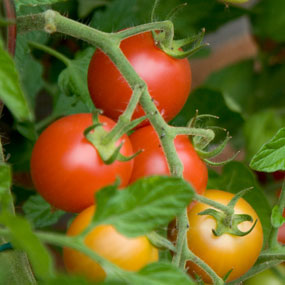 Photo Courtesy of www.hawthornnurseries.com