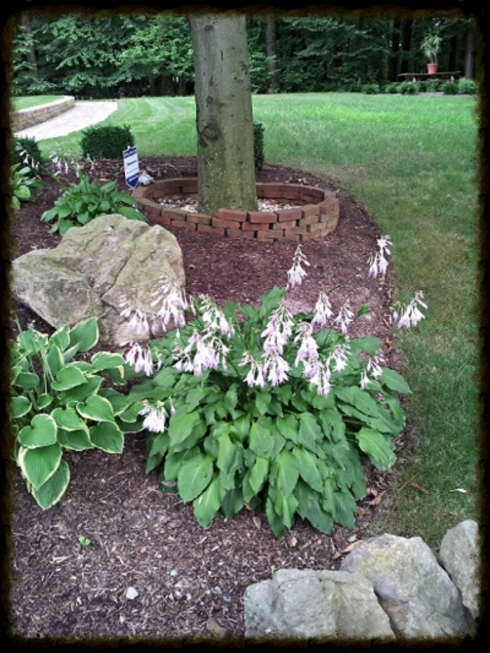 Hostas under tree canopy.
