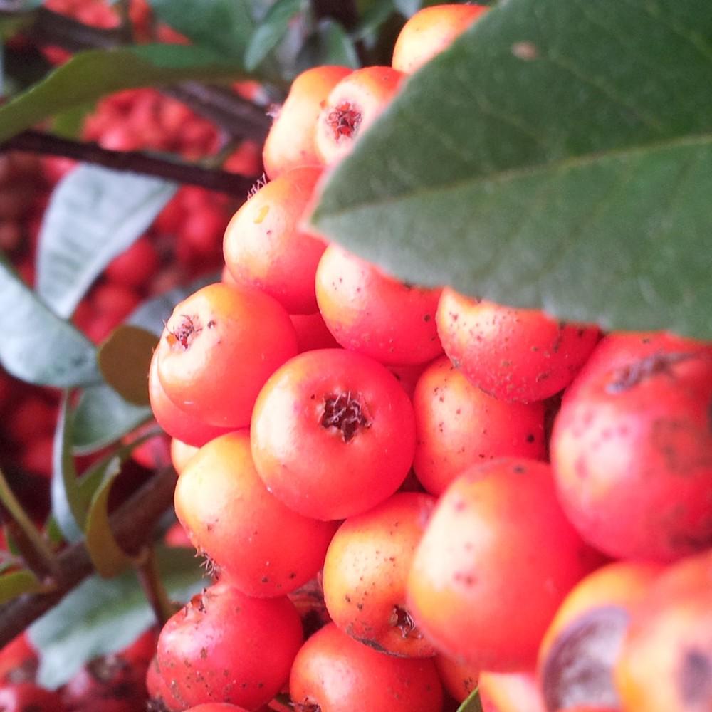 Pyracantha Fruit