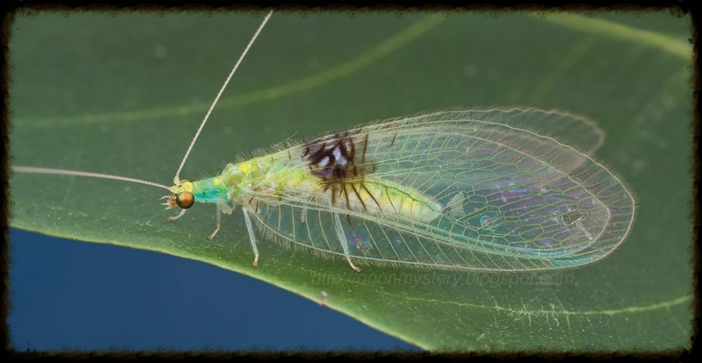 Lacewing - Photo courtesy of www.npr.com