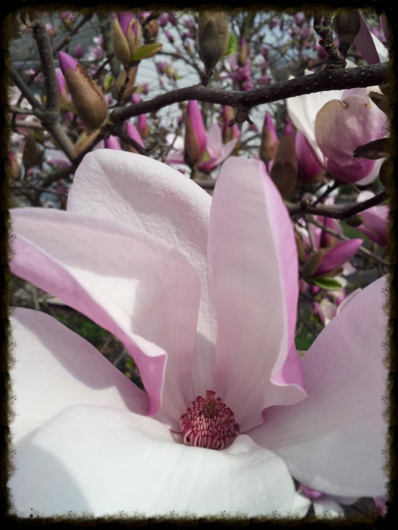 Saucer Magnolia - Shem.R