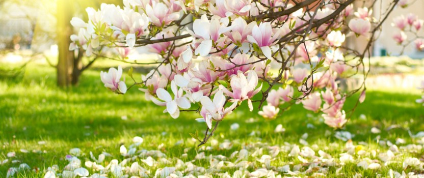 Drooping Saucer Magnolia Branches - Photo Courtesy of www.thetreecenter.com
