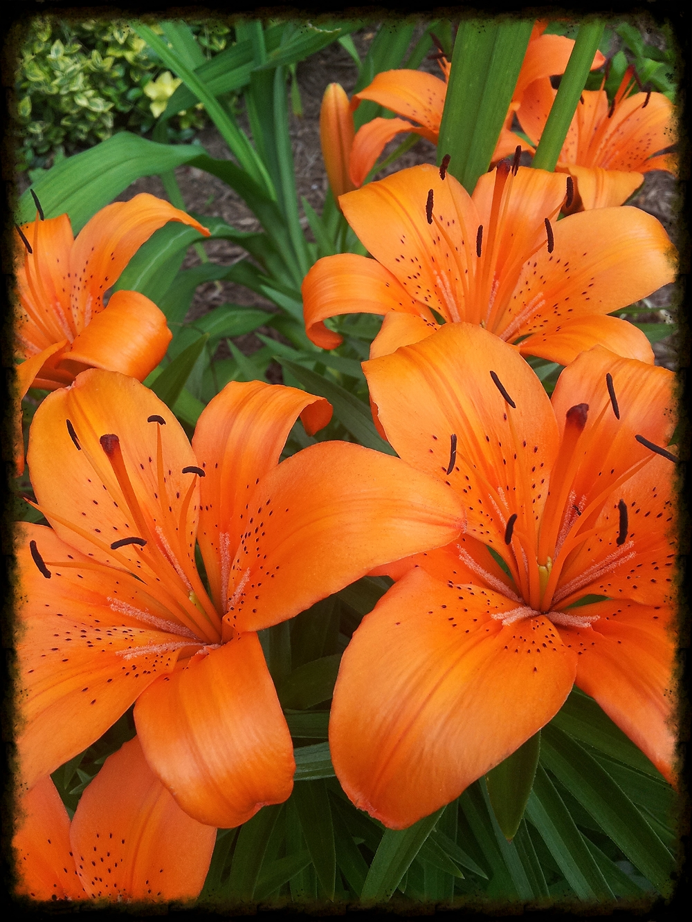 Asiatic Lilies showing off their flowers. -Shem R.