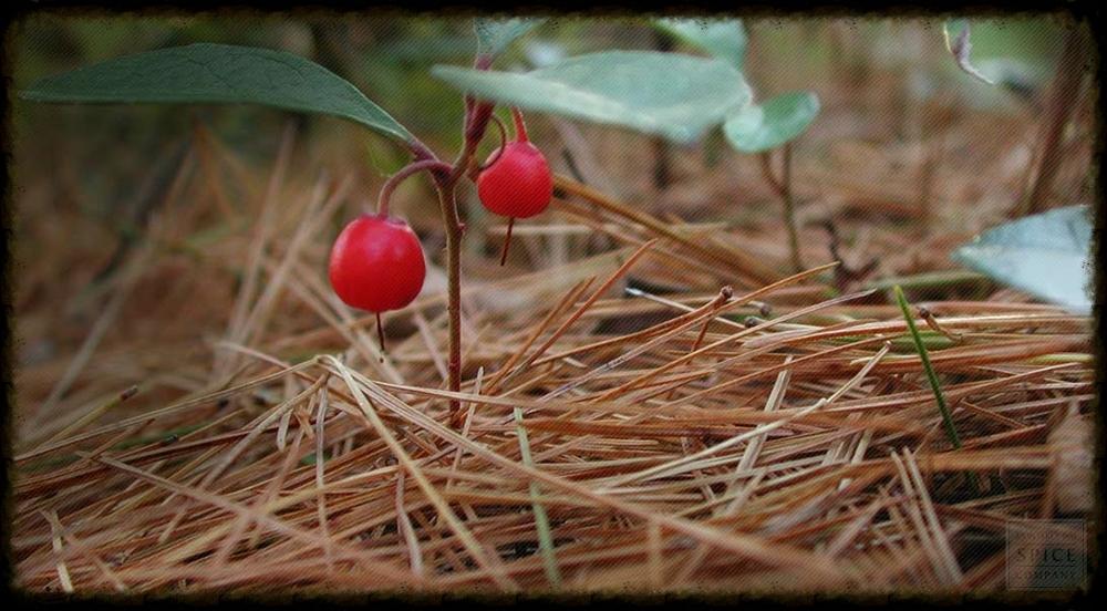 Wintergreen Photo Courtesy of www.herbco.com