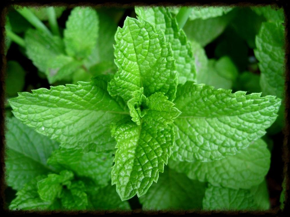Mint Photo Courtesy of www.en.wikipedia.org/mentha