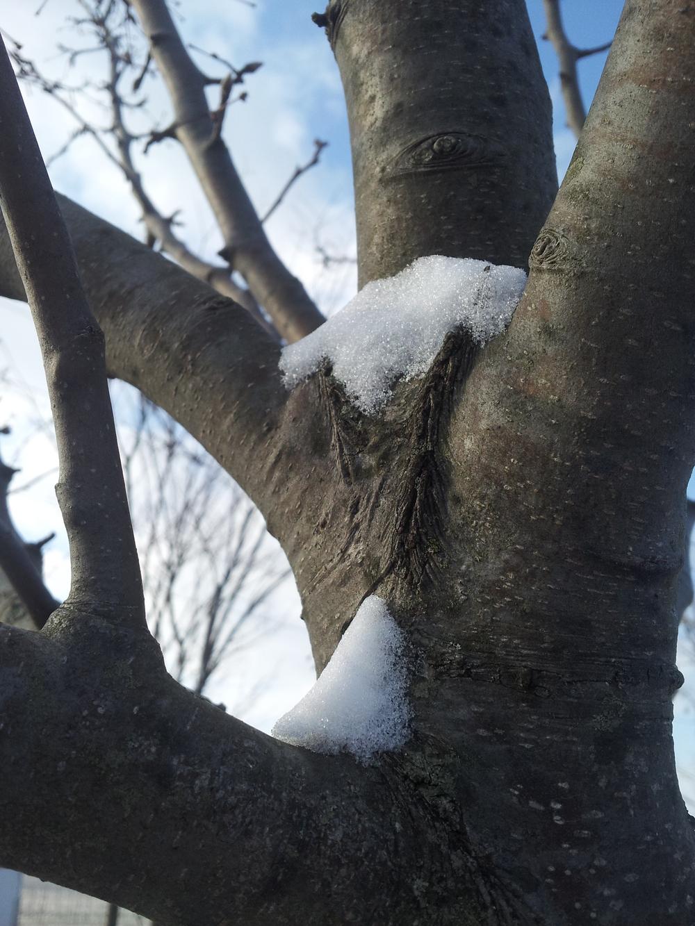 Bark of Flowering Pear 'Aristocrat'