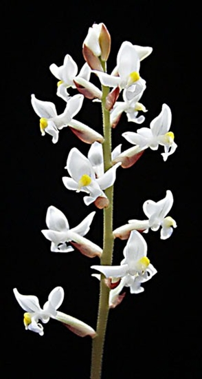 Jewel Orchid Flower