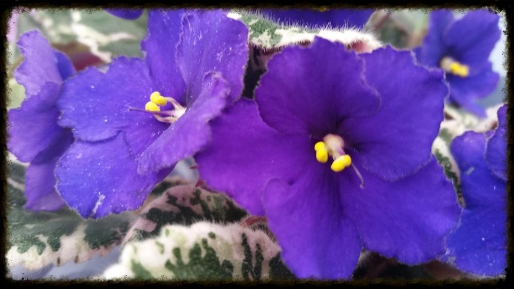 African Violets - Shem.R