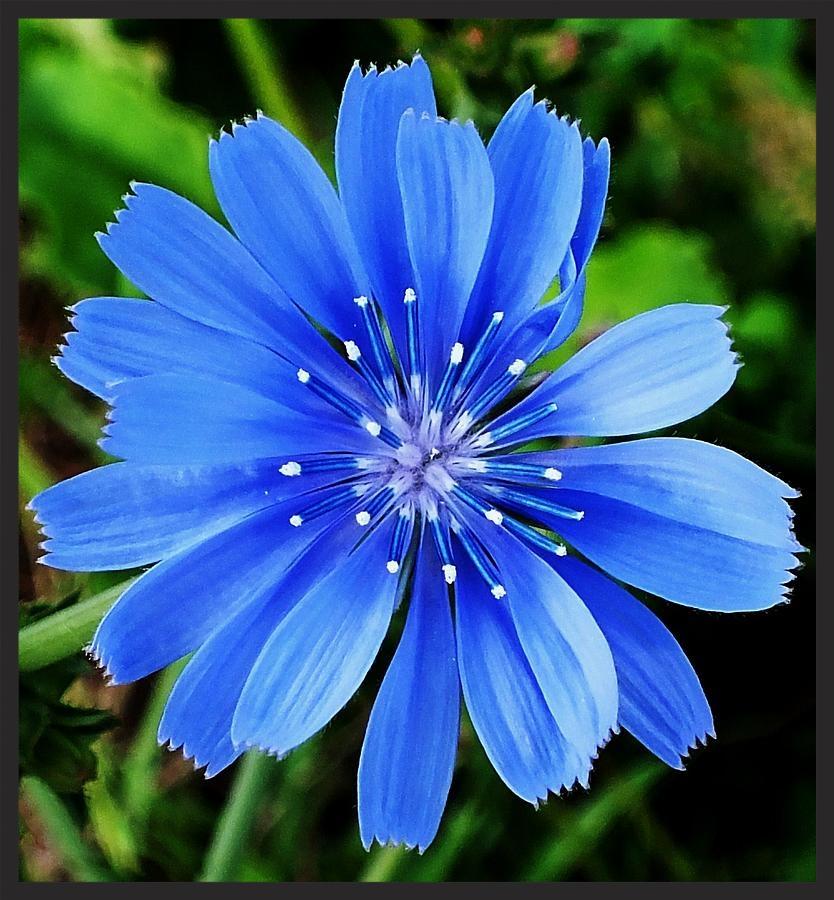 Chicory - Photo Credit www.fineartamerica.com