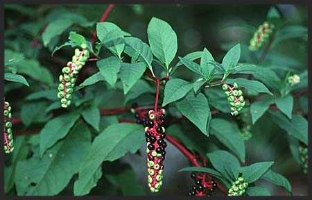 Pokeweed - Photo Credit www.fcps.com