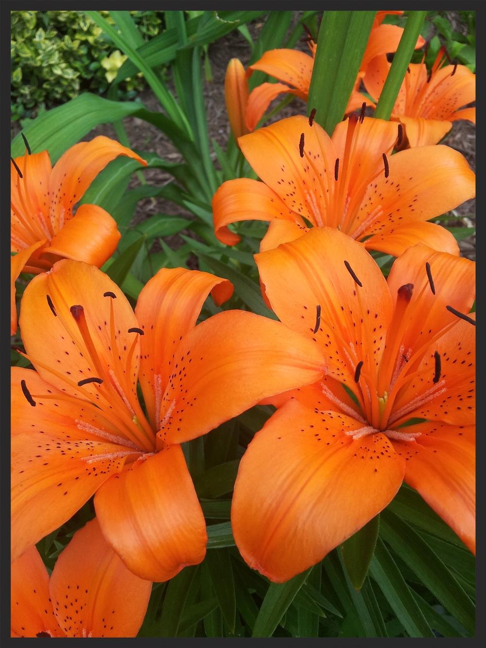 Daylilies - Shem R.