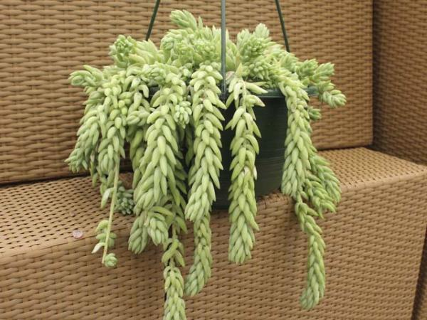 Donkey Tail- Photo Credit - http://bomets.com/?p=2768