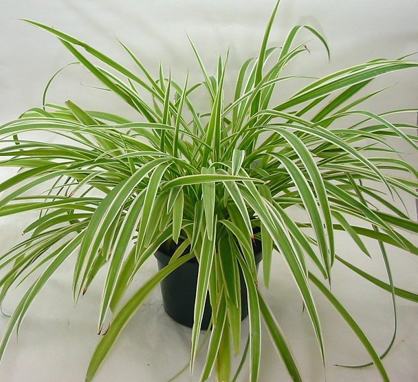 Spider Plant - Photo Credit - http://bomets.com/?p=2786