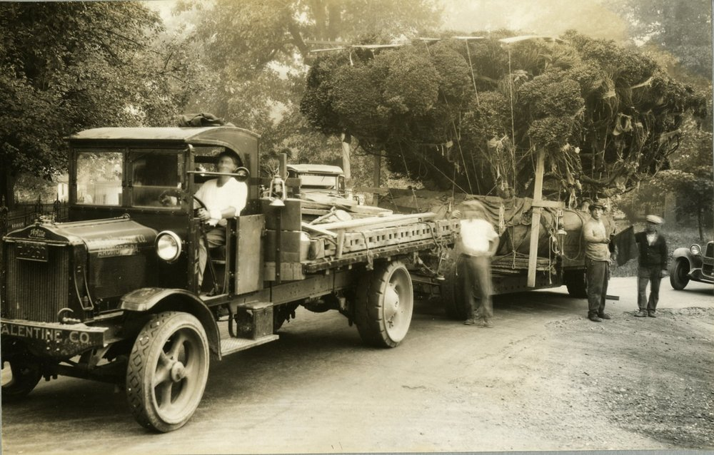 Lewis & Valentine Company transporting the massive boxwood to Longwood Gardens from Lancaster County, 1928. Photo by Lewis & Valentine Company. Image courtesy of the Longwood Gardens Archives.
