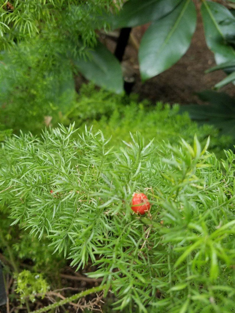 Asparagus fern fruit Photo credit - Shem Ruszczyk