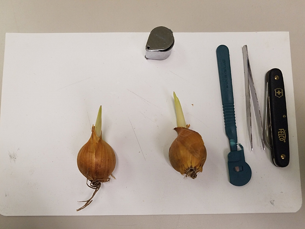 Getting ready to dissect some tulips. Photo Credit - Shem R.