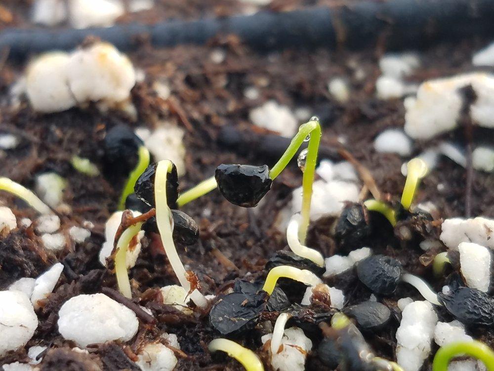 Garlic Chives Germination