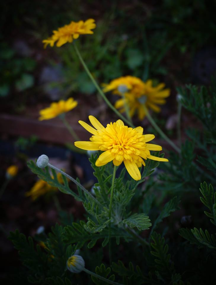 DOUBLE flowering South African Euryops