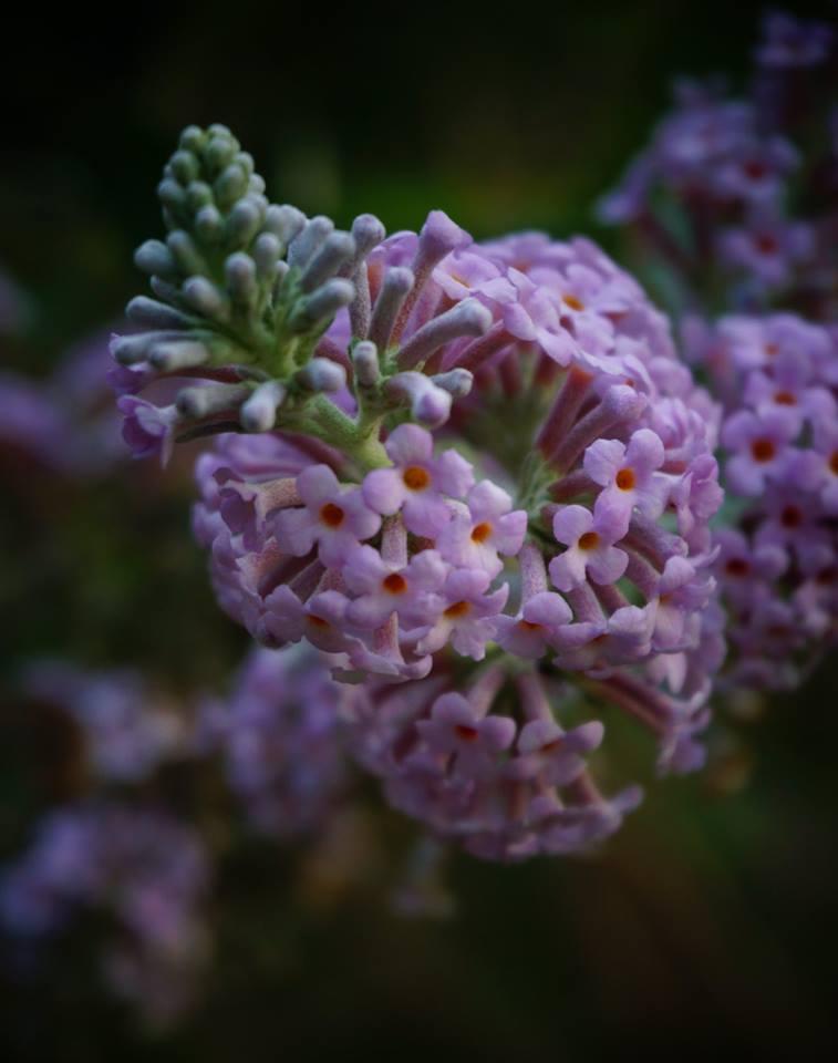 Winter-flowering Buddleja
