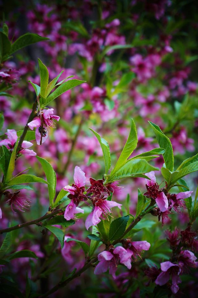 Blooming Peaches
