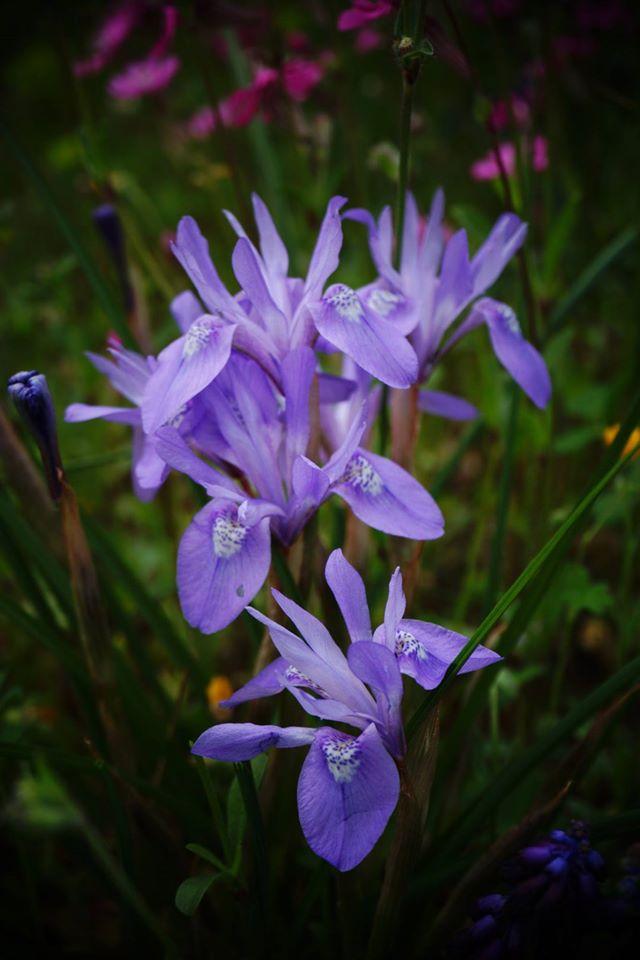 Moraea (Iris) sisyrinchium