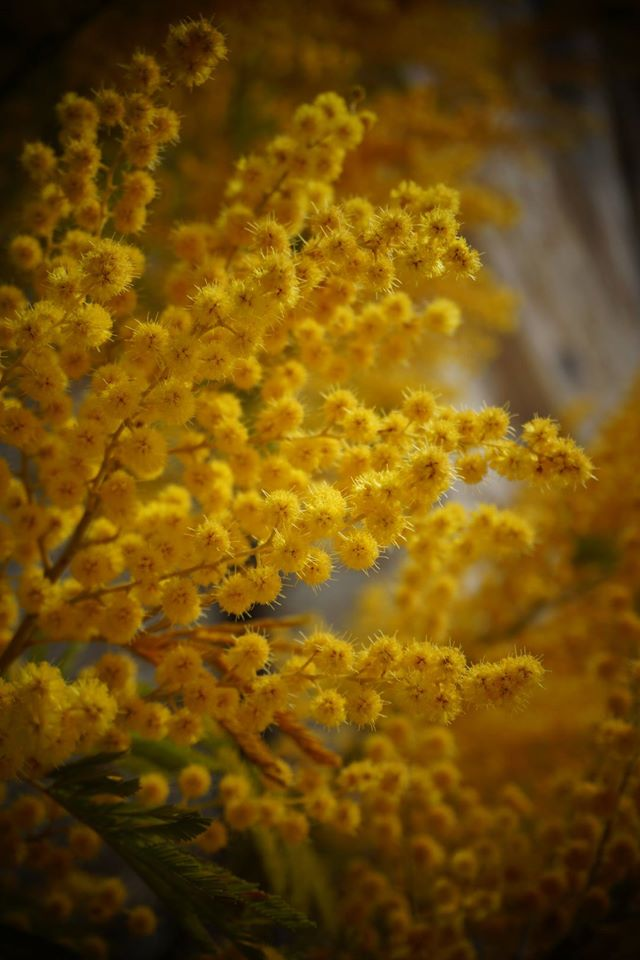 After departing the ancient site a quick stop at a mountain village for refreshment exposed this exuberant Australian wattle. Acacia dealbata is a winter bloomer and the chilly mountain air kept its favourite season in the grips of Jack Frost.— in Kallithéa, Greece
