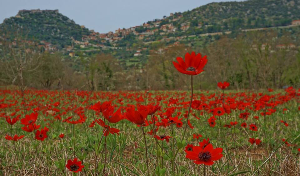 On the backside of the village was a field of Anemone coronaria in full bloom. Locals were out harvesting wild asparagus while I was eyeing the carmine blossoms as they danced in the chilly wind.— in Karytaina
