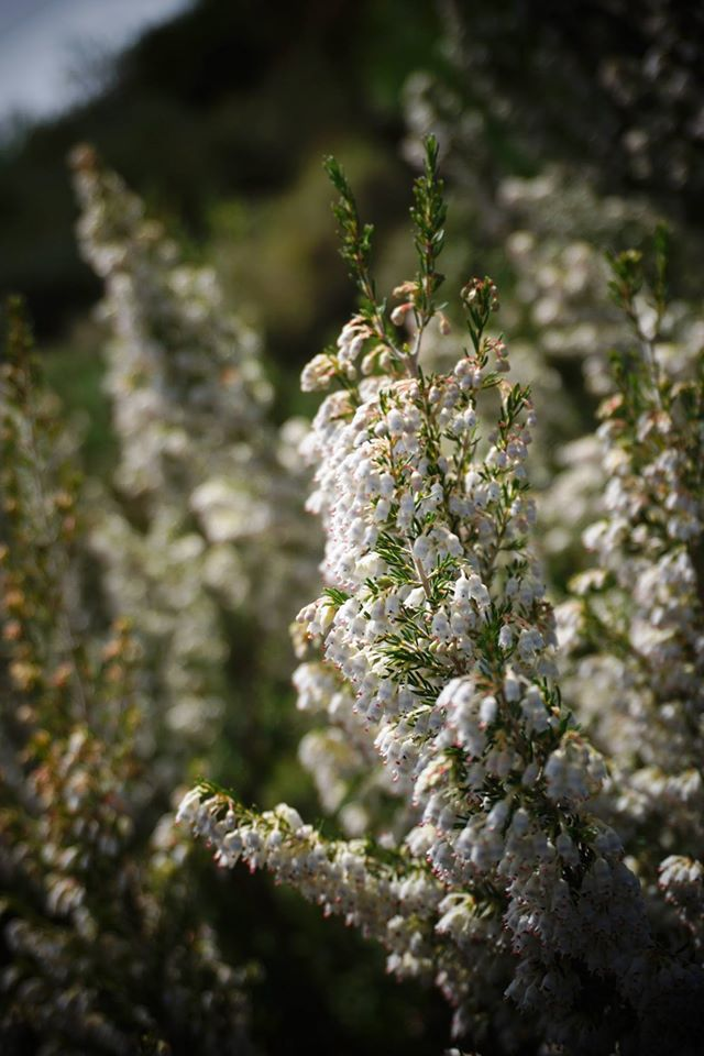 Emerging from the darkness was a mountainside cloaked in the shining purity of Erica arborea. Standing at a full 6' tall, these shrubs were illuminated by the gleaming light of the sun.— at Gortynia