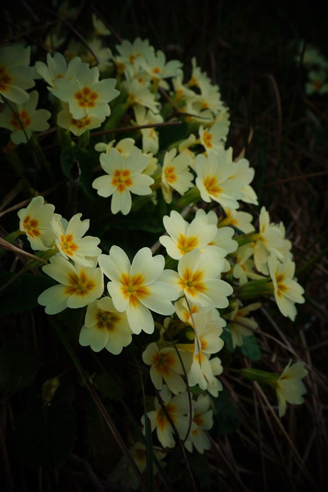 The snow melting off the mountains fed numerous streams and created a plethora of moist spots for Primula vulgaris to thrive. The soft chamois flowers emitted a delicate scent which kept me in one spot for much longer than I needed to capture their beauty on film.— in Kastaniá, Korinthia, Greece