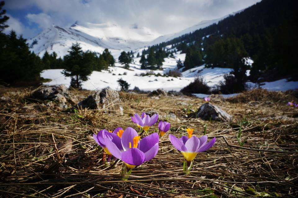 A drive higher up the mountains to the melting snow reveled a glory of spring just beginning to emerge from the frosty earth. Native Crocus sieberi ssp.sublimis were about as low to the ground as one could get....and what a contrast to the majestic mountain peak in the background!!— at Mount Kyllini.