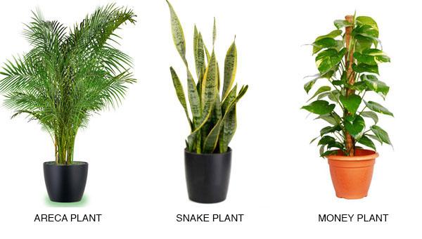 ARECA PLANT                      SNAKE PLANT                      MONEY PLANT