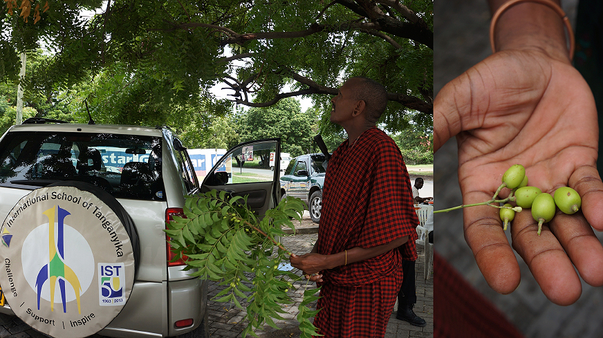 "A very tall Masai helping me get some fresh branches, all I had to say was ""Dawa"" which means medicine in Swahili.  Masai are very protective of the nature so rounding them. He pointed at the seeds as well (Neem Oil)."