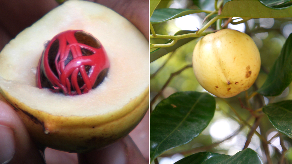 Nutmeg fruit and kernel, once dried used as a spice