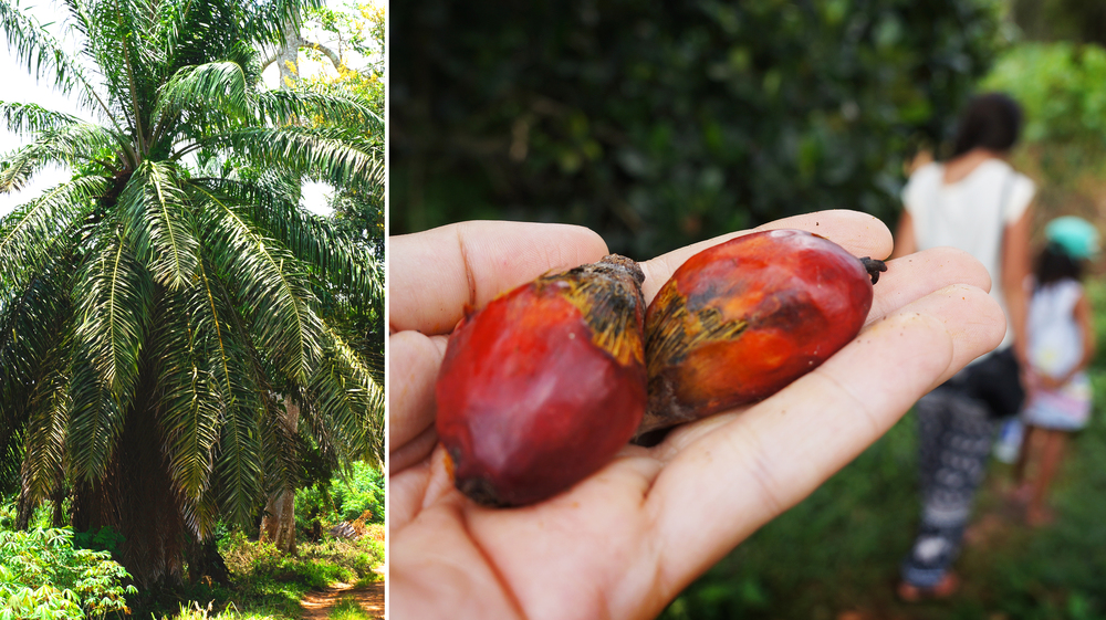 Palm Fruit and Kernels used for Palm Oil