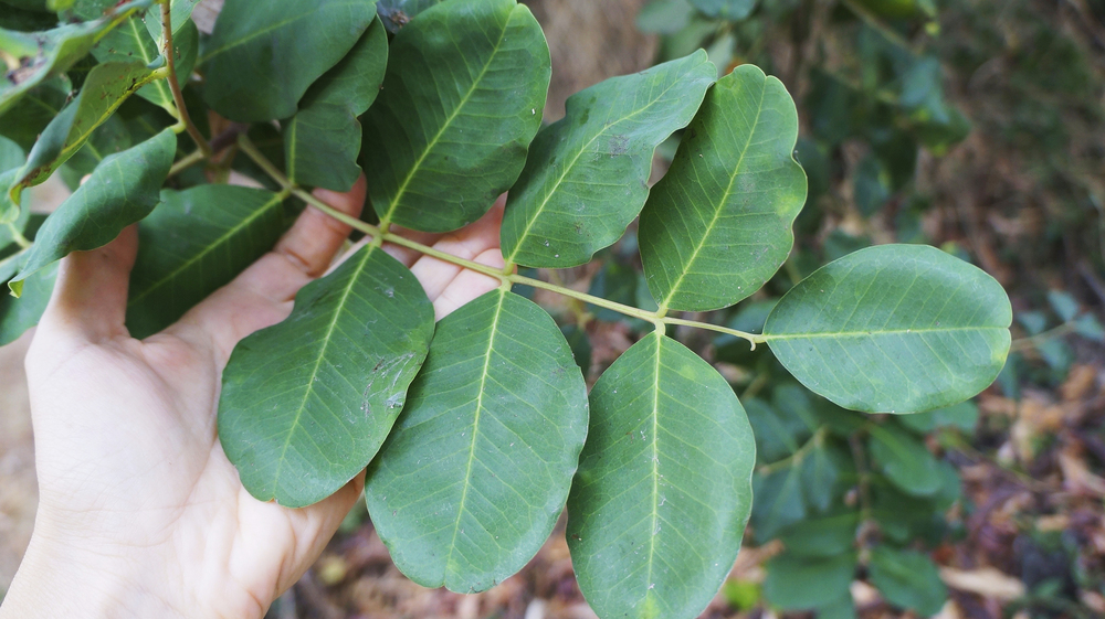 Carob Tree leaves