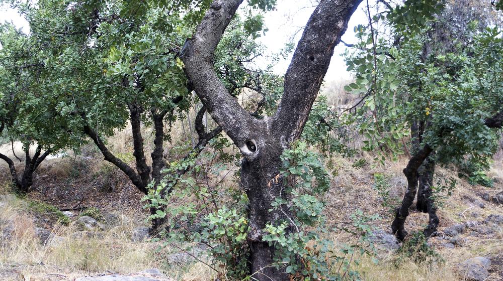 Árbol de Algarrobo