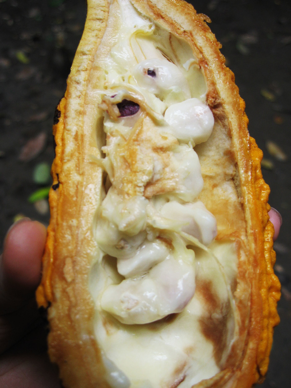 Sweet and fleshy Cacao Fruit