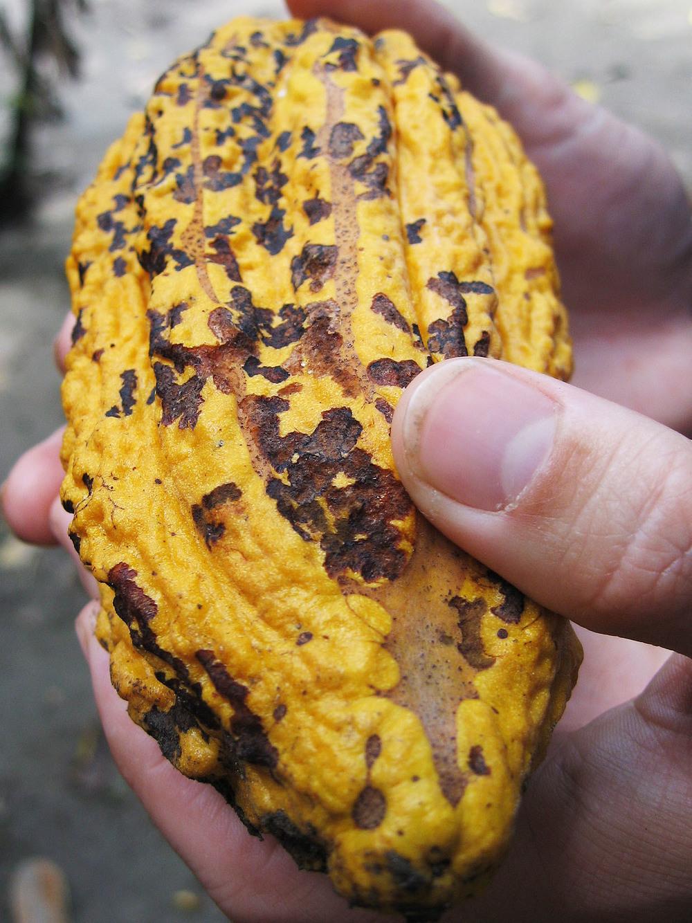 Mazorca fresca de Cacao