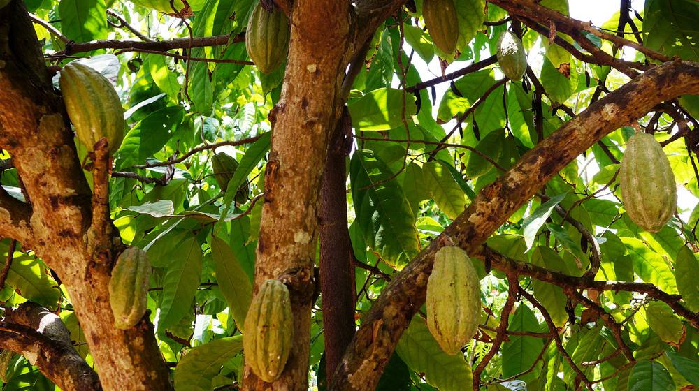 cacao03.jpg