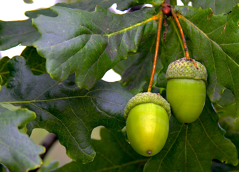 acorns on oak tree.jpg