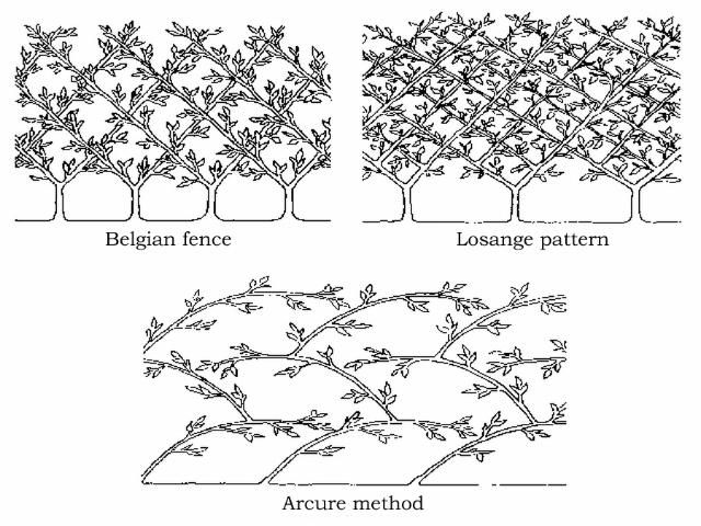 Espalier Diagram Various Designs 2.jpg