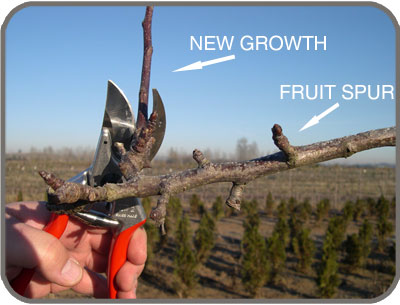 Remove New Growth As Needed, Leaving Fruit Bearing Spur