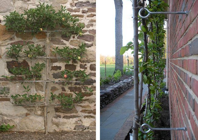 Espalier Apple Beginning Training Stone Wall.jpg