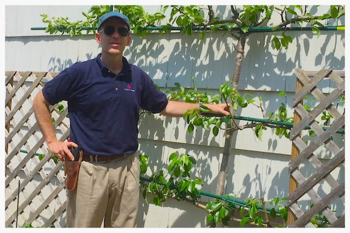 Charles With Espalier Pear After Pruning In Greenwich, CT
