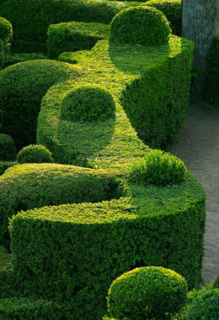 Boxwood hedge topiary forms afternoon light.JPG
